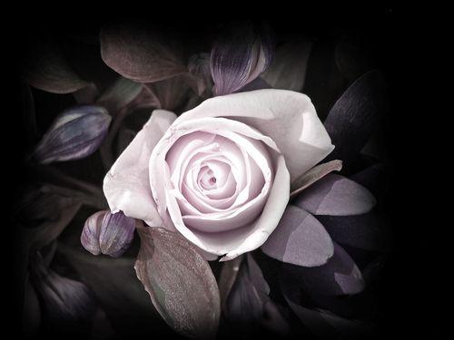 Flor_rosa_blanca
